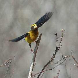 Liftoff-Male Evening Grosbeak by David Porteus
