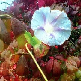 Brenda Plyer - Light Blue and purple Morning Glory