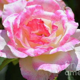 Ruth Housley - Light Pink And White Rose 3