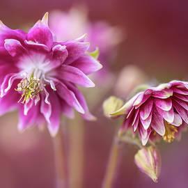 Jaroslaw Blaminsky - Light pink columbine flowers
