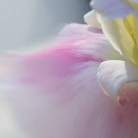 Light Rose by Terry Davis