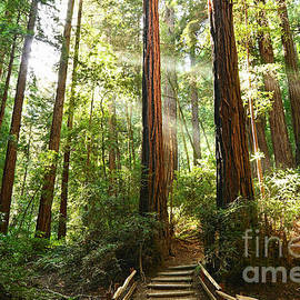 Light The Way - Redwood Forest Of Muir Woods National Monument With Sun Beam. by Jamie Pham