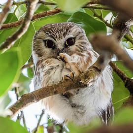 Lightweight Champ Saw-Whet Owl by Morris Finkelstein