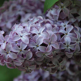 Kathy Carlson - Lilac Blooms
