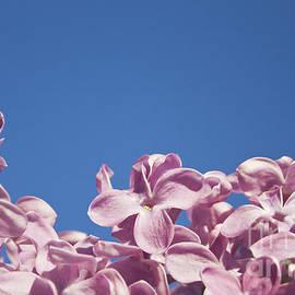 Dan Radi - Lilac Blossoms