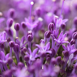 Lilac sentiment by Svetlana Iso