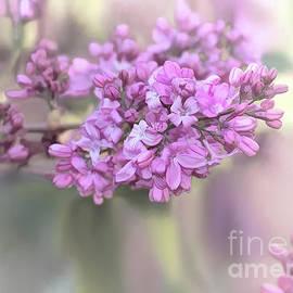 Lilac by Susan Warren