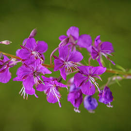 Leif Sohlman - Lilac wildflower #g5