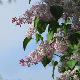 Lilacs in the Rain 4 - Spring Flowers - Lilacs - Purple Flowers by Brooks Garten Hauschild