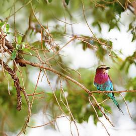 Lilc Breasted Roller Bird in Tree - Susan Schmitz