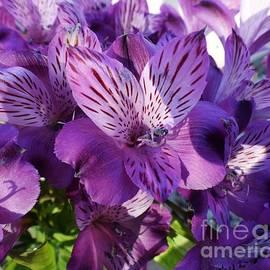 Janet Marie - Liliaceous Lavender