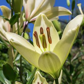 Bruce Frye - Lilies in the Sun