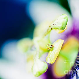 Lilikoi Passion Flower in Colourful Jewel Tones by Sharon Mau