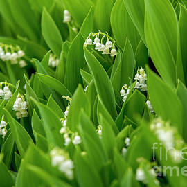 Lilly of the Valley  II by Alana Ranney
