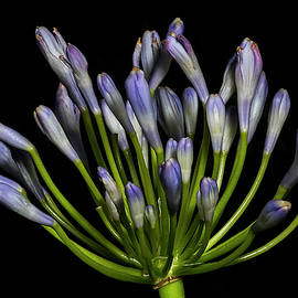 Richard Rizzo - Lily of the nile, Agapanthus