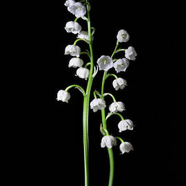 Ann Garrett - Lily of the Valley on Black 2