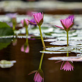 Lily Pad Flower Reflections by Robert  Aycock
