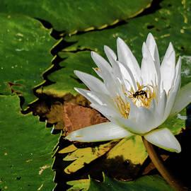 Lily Pond I by Susan Molnar