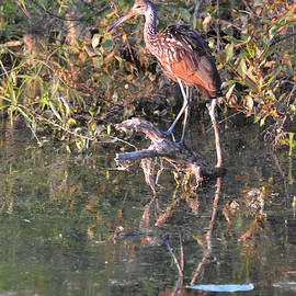 rd Erickson - Limpkin - The Search for an Apple Snail