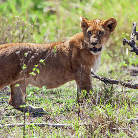 Sally Weigand - Lion Cub Walking