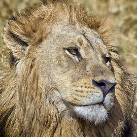 Lion Portrait by Gigi Ebert