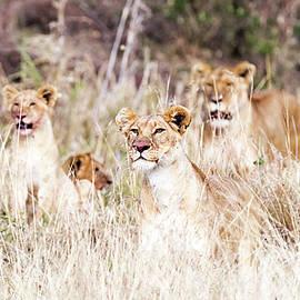 Lion Pride Lying in Tall Grass - Susan Schmitz