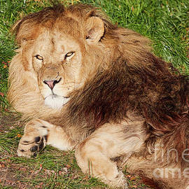 Lion Resting In The Sun by Nick Biemans
