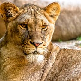 Wayne King - Lioness