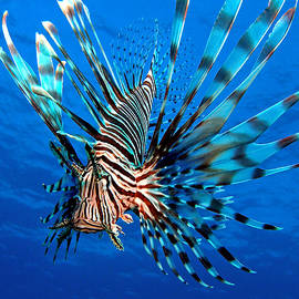 Lionfish by Brent Barnes