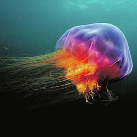 Lions Mane Cyanea Capillata Jellyfish by Scott Leslie