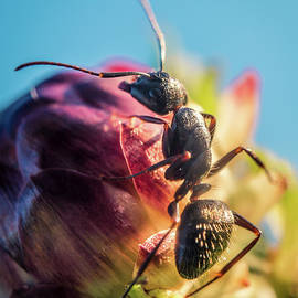Lilia D - Little Ant on the flower