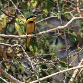 Kay Brewer - Little Bee Eater 2