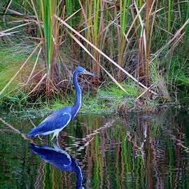 Little Blue Heron by Cynthia Guinn