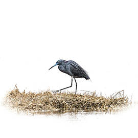 Janet Argenta - Little Blue Heron