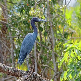 Little Blue Heron by Sally Weigand