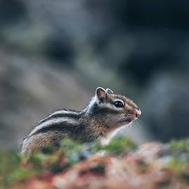 Oksana Ariskina - Little Chipmunk