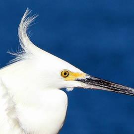 Kimberly Walker - Little Egret Photograph