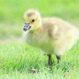 Little Goose by Steve McKinzie