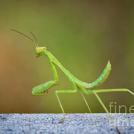 Mitch Shindelbower - Little Green Mantis