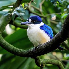 Steven Ralser - Little Kingfisher - Australia