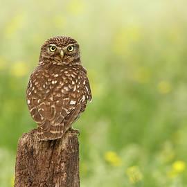 Roeselien Raimond - Little Owl in a Field of Flowers