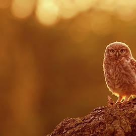 Roeselien Raimond - Little Owl in Red