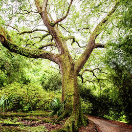 Live Oak Magic by Scott Pellegrin