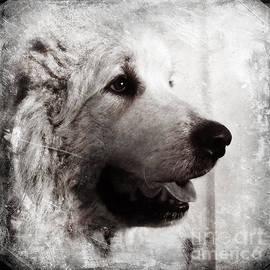 Loki the Great Pyrenees Dog by Murray Webb