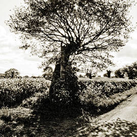 Clive Beake - Lone Tree On Rape Field