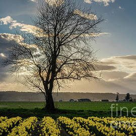 Mike Reid - Lone Tree Skagit Valley Daffodils