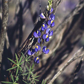 Lonely Lupine by Randy Oberg