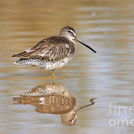 Lonesome Dowitcher by Ruth Jolly