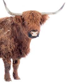 Long hair bizon