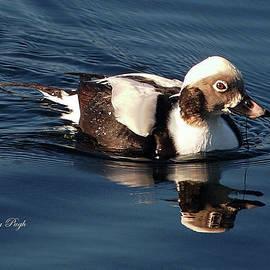 Dorothy Pugh - Long-tailed Duck at Carolina Lake